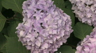 Stock Video Footage of Pink Hydrangea
