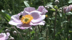 Japanese anemone with a bee Stock Footage