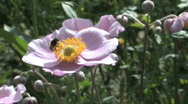 Stock Video Footage of Japanese anemone with a bee