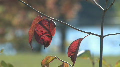 Rack focus shot of solitary red leaf clinging to bare branch Stock Footage