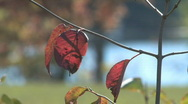 Stock Video Footage of Fall foliage 010