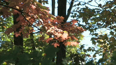 Red autumn leaves swaying in breeze in a spotlight of sun under forest canopy Stock Footage