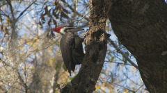 Pileated Woodpecker on tree limb clip 6 - stock footage