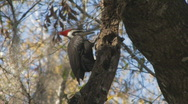 Stock Video Footage of Pileated Woodpecker on tree limb clip 6
