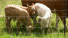 New Born Calves Stock Footage