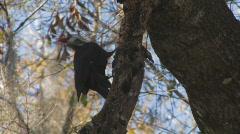 Pileated Woodpecker on tree limb clip 4 Stock Footage