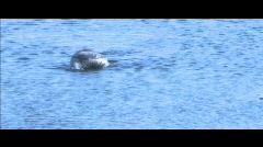 Ducks and ducklings swimming and diving in pond Stock Footage