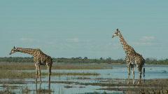 Giraffes on the Chobe Stock Footage