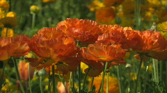 Orange poppies swaying in the wind 2 - stock footage