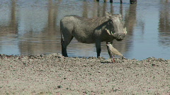 Warthog confrontation - stock footage