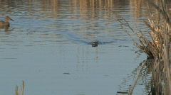 Muskrat swims toward camera as ducks swim in background - stock footage