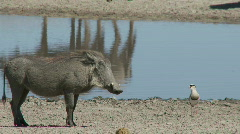 Warthog confrontation Stock Footage
