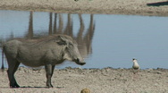 Stock Video Footage of Warthog confrontation