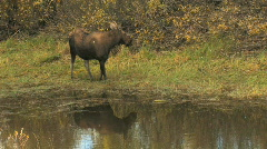 Cow Moose Reflection in Pond Stock Footage