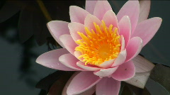 Beautiful water-lilies in a pond  Stock Footage