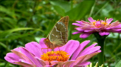 Butterfly sits on the leaves  Stock Footage