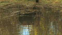Cow Moose Reflection in Pond Tilt Up Stock Footage