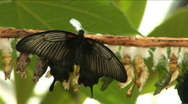 Butterfly near a cocoon Stock Footage