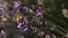 Bee0040 Lavender slomo Stock Footage