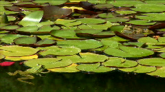 Two frog sits in a pond among water-lilies Stock Footage