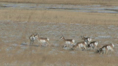 Herd of Pronghorn antelope grazing on grass and running off in fear of danger Stock Footage
