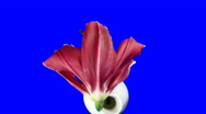 Time-lapse of dying red lily 6ck blue chroma key time-reverse Stock Footage