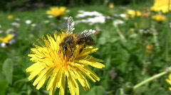 Bee on dandylion Stock Footage