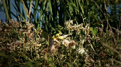 American Goldfinch Stock Footage