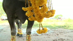 Decorating the buffalo 12 Stock Footage