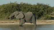 Stock Video Footage of Elephant walking