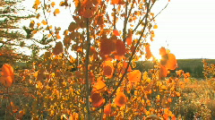 Yellow Aspen with Sun Shining Through Stock Footage