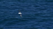 Albatross Seabird in Flight, Gull, Sea Bird Stock Footage