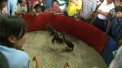 Cockfighting 2 - stock footage