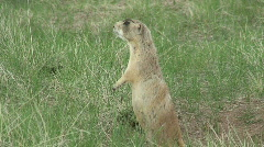 P00307 White-tailed Prairie Dog Standing Stock Footage