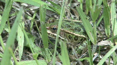 P00362 Northern Leopard Frog - stock footage
