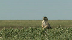 P00364 Black-tailed Prairie Dog Standing Stock Footage