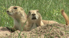 P00369 Black-tailed Prairie Dog Alarmed Closeup Stock Footage