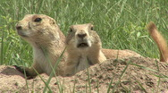 Stock Video Footage of P00369 Black-tailed Prairie Dog Alarmed Closeup