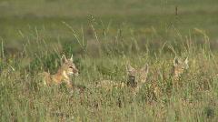 P00372 Swift Fox Pups Alarmed Stock Footage