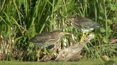 P00373 Green Herons in Wetland Stock Footage