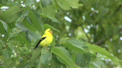 P00380 Male American Goldfinch Stock Footage