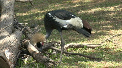 P00384 Black-crowned Crane Feeding Stock Footage