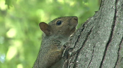 P00385 Gray Squirrel in Tree Stock Footage