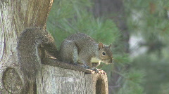 P00386 Gray Squirrel Wagging Tail Stock Footage