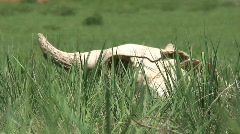P00397 Bison Skull on the Great Plains Stock Footage