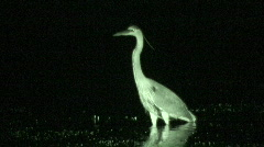 P00399 Great-blue Heron at Night Stock Footage