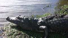 Yacare caiman Stock Footage