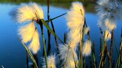 Arctic Wild Cotton Stock Footage