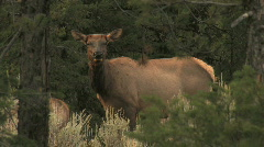 Cow Elk in Forest Stock Footage