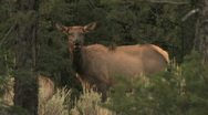 Stock Video Footage of Cow Elk in Forest